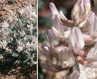 Astragalus andersonii