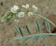 Astragalus caricinus