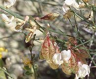 Astragalus cusickii