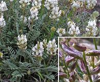 Astragalus flavus