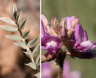 Astragalus gilensis