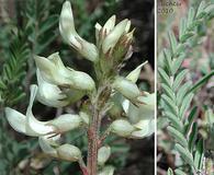 Astragalus howellii