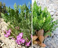 Astragalus megacarpus