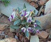 Astragalus musiniensis