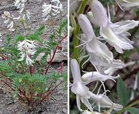 Astragalus pattersonii