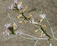 Astragalus sclerocarpus