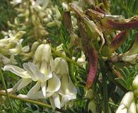 Astragalus scopulorum