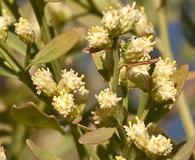 Baccharis glomeruliflora