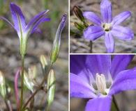 Brodiaea filifolia