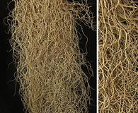 Bryoria capillaris