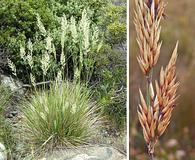 Calamagrostis ophitidis