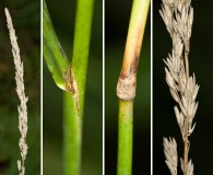 Calamagrostis porteri