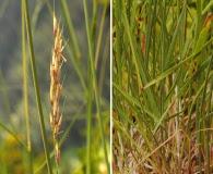 Calamagrostis tacomensis
