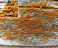 Caloplaca microphyllina
