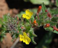 Camissoniopsis hirtella