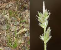 Carex albicans