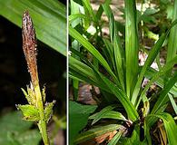Carex careyana