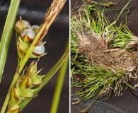 Carex deflexa