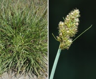 Carex densa