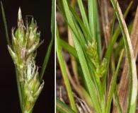Carex floridana