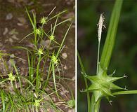 Carex intumescens