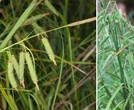 Carex joorii
