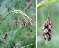 Carex magellanica