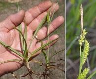 Carex microdonta