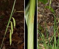 Carex mitchelliana