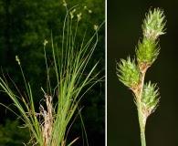 Carex molestiformis