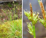 Carex peckii