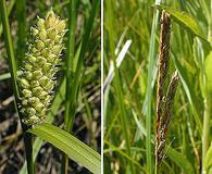 Carex pellita