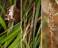 Carex picta