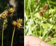 Carex praticola