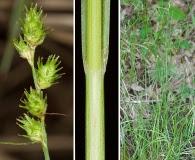 Carex reniformis