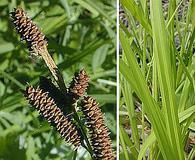 Carex shortiana