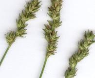 Carex spicata