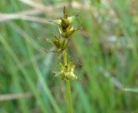Carex sterilis