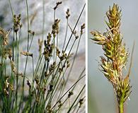 Carex subfusca
