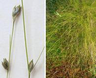 Carex trisperma