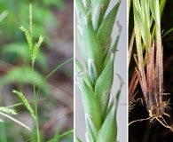 Carex venusta