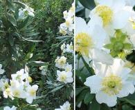 Carpenteria californica