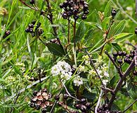 Ceanothus herbaceus