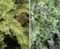 Chiloscyphus pallescens