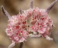 Chorizanthe membranacea