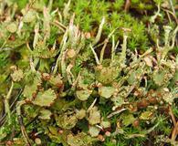 Cladonia gracilis