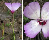 Clarkia cylindrica
