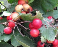 Crataegus submollis