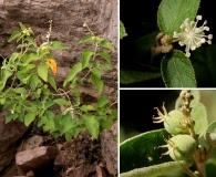 Croton fruticulosus