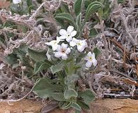 Cryptantha tenuis